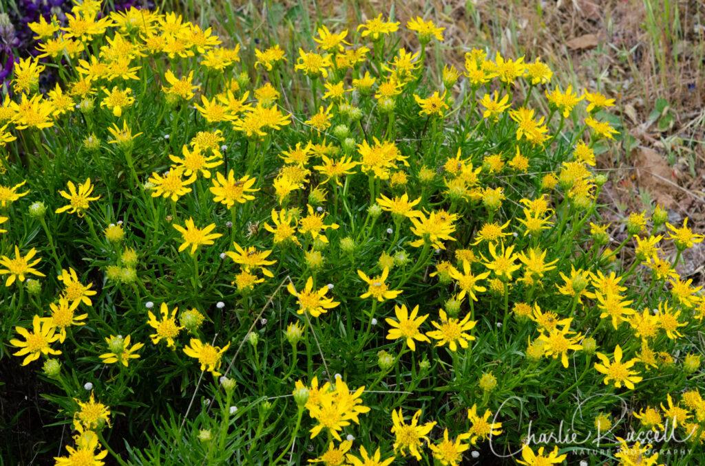 Interior goldenbush, Ericameria linearifolia
