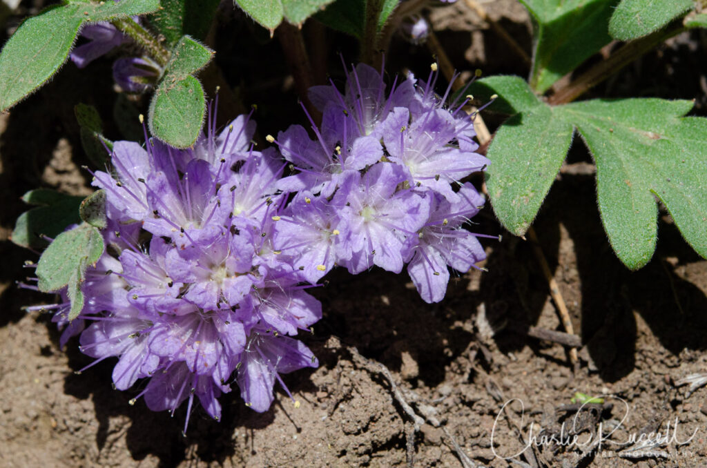 Alpine breeches, Hydrophyllum alpestre