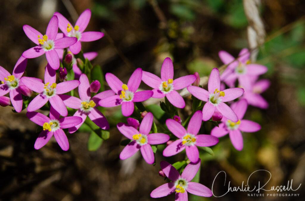 Muehlenberg's centaury, Zeltnera muehlenbergii - Lawndale Trail Wildflowers