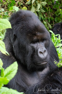 Mountain Gorilla, Gorilla beringei ssp. beringei