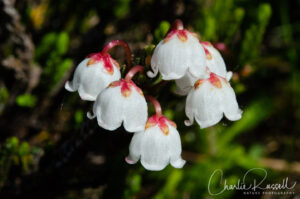 Western moss heather, Cassiope mertensiana