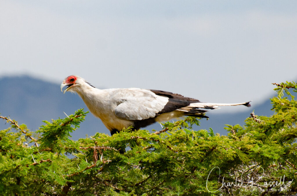 Secretarybird, Sagittarius serpentarius. In a tree top, eating a snake (which you can't see)