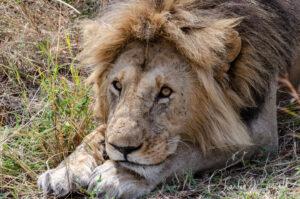 Southern Lion, Panthera leo ssp. melanochaita