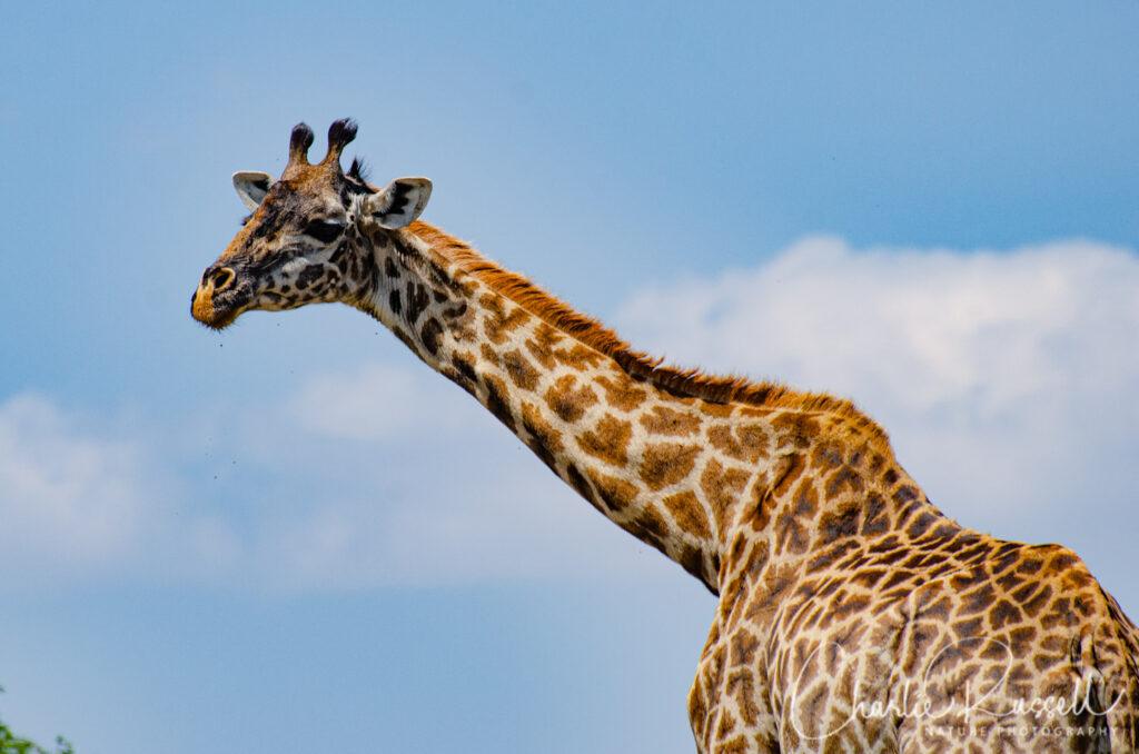 Maasai Giraffe, Giraffa camelopardalis ssp. tippelskirchi