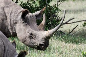 Eastern Black Rhinoceros, Diceros bicornis ssp. michaeli