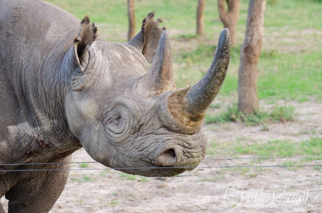 Baraka, the blind Black Rhino