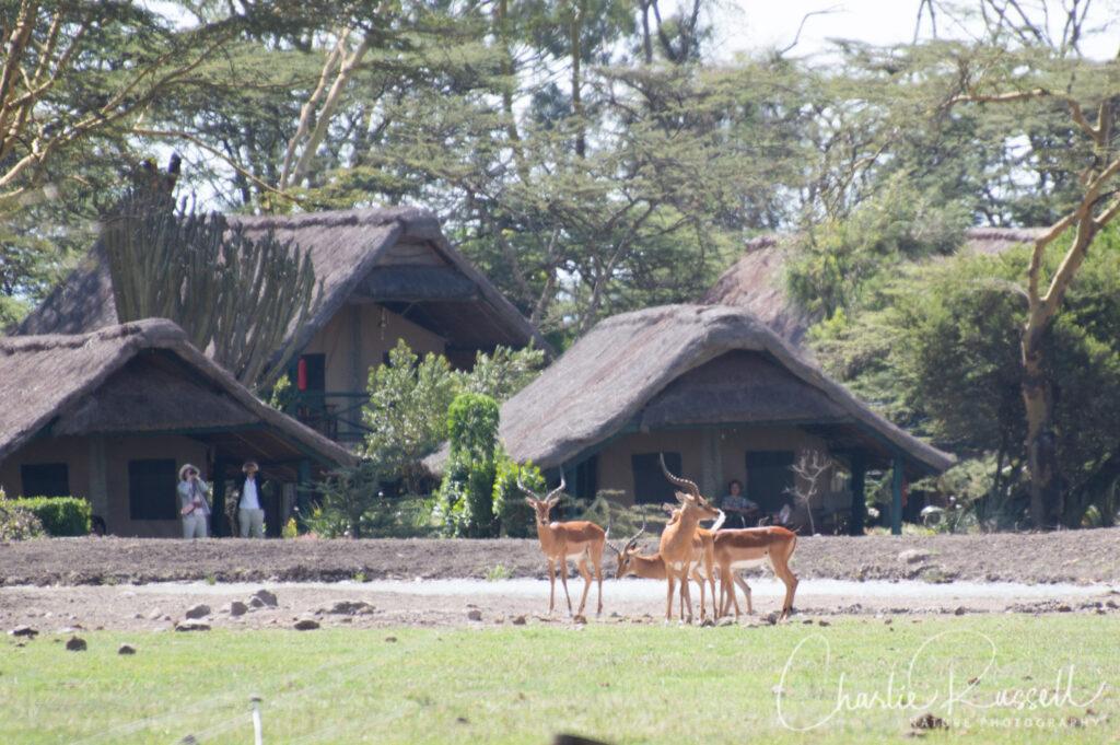 Impala, Aepyceros melampus,