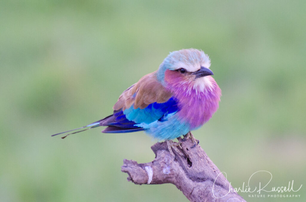 Lilac-breasted Roller, Coracias caudatus