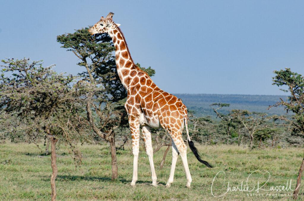 Reticulated Giraffe, Giraffa camelopardalis ssp. reticulata