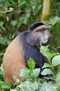 Golden Monkey, Cercopithecus mitis ssp. kandti