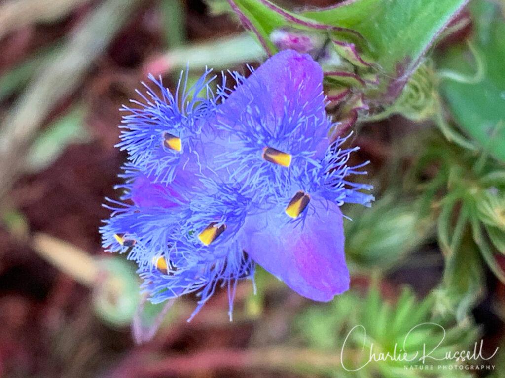 Spiderwort, Cyanotis sp.