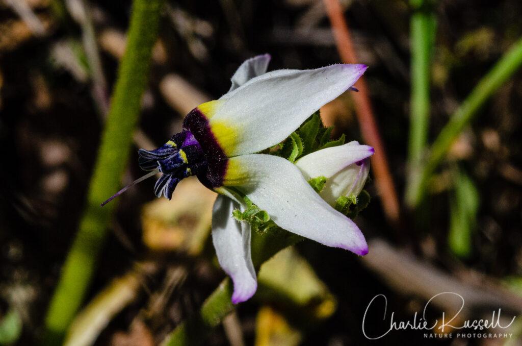 Padre's shooting star, Primula clevelandii var. patula