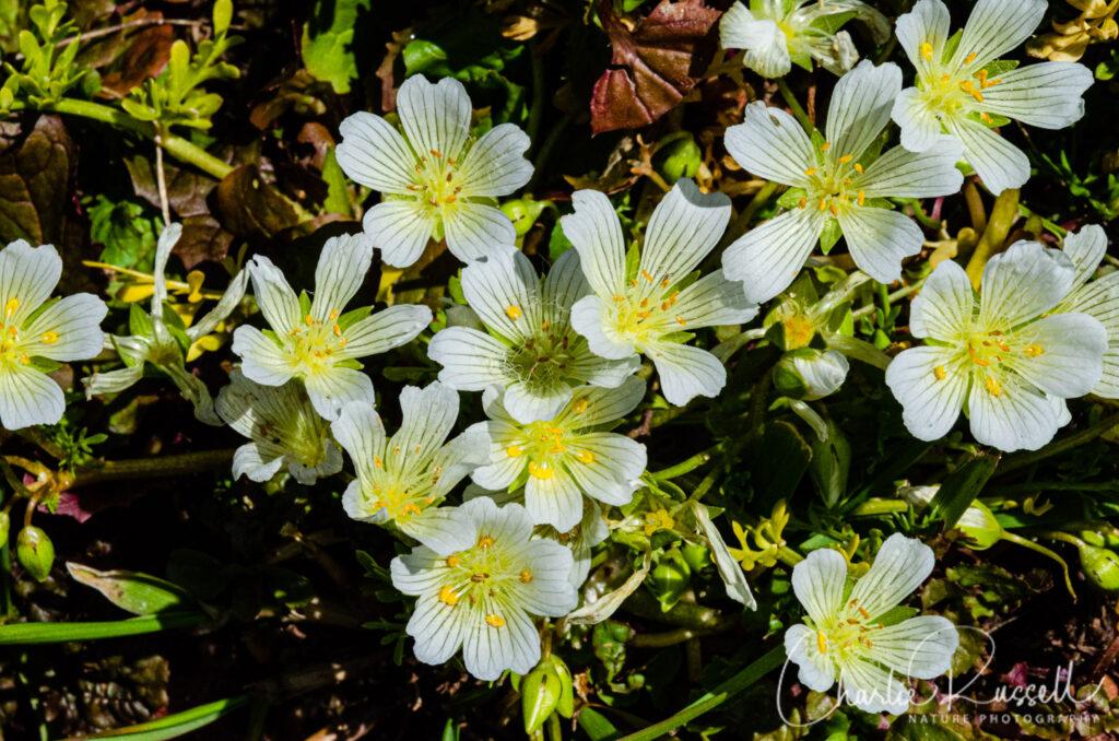 Table Mountain Meadowfoam, Limnanthes douglasii ssp. nivea