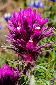 Purple owl's clover, Castilleja exserta (at)