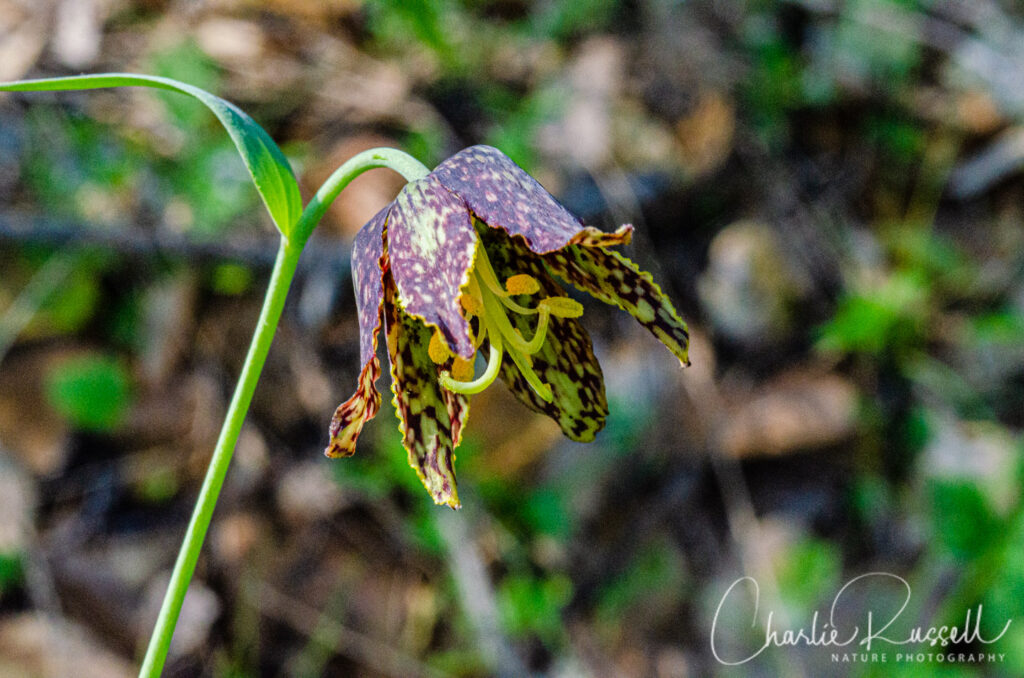 Checker lily, Fritillaria affinis