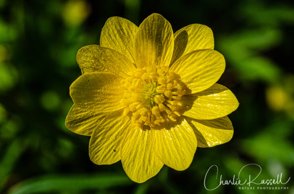 California buttercup, Ranunculus californicus var. californicus