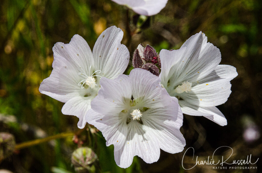 Vernal pool checkerbloom, Sidalcea calycosa