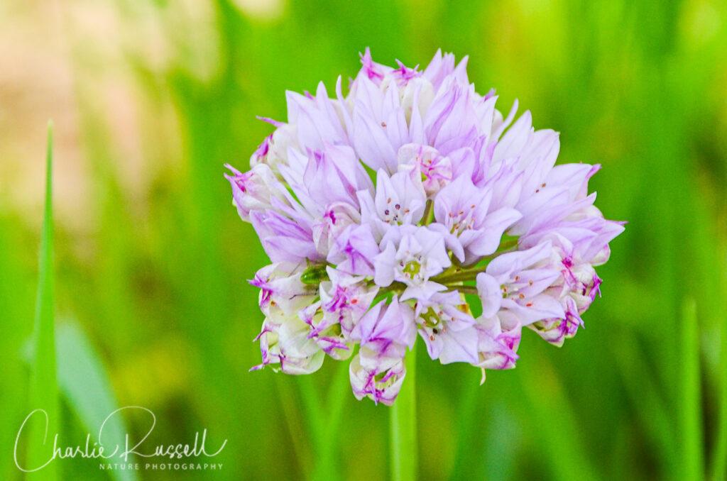 Purdy's Onion, Allium fimbriatum var. purdyi