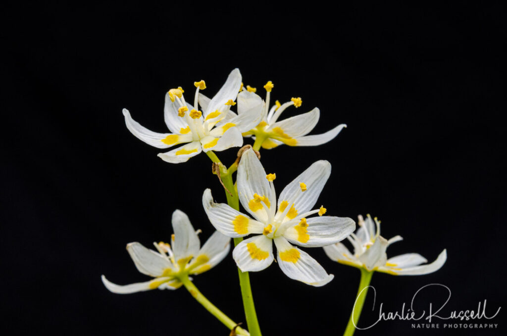 Small Flowered Star Lily, Toxicoscordion micranthum