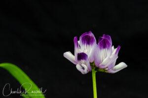 Jepson's milkvetch, Astragalus rattanii var. jepsonianus. CNPS 1B.2