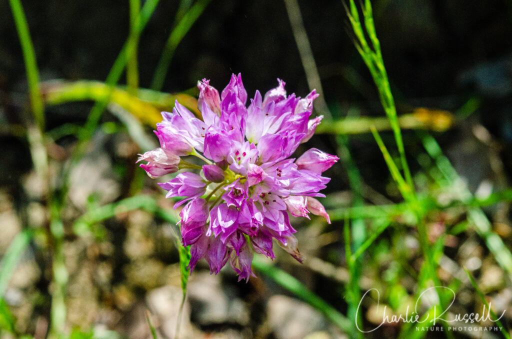 Jeweled onion, Allium serra