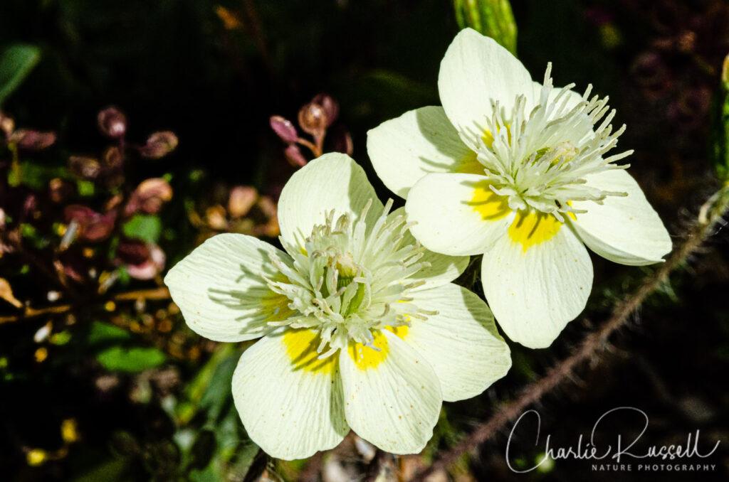 Cream cups, Platystemon californicus