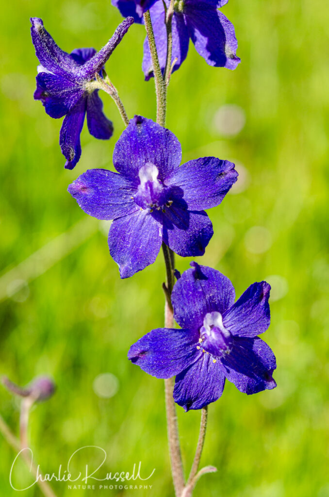 Royal Larkspur, Delphinium variegatum