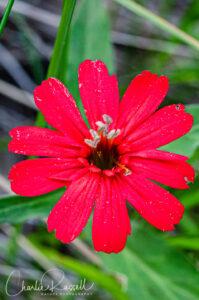 California pink, Silene laciniata ssp. californica