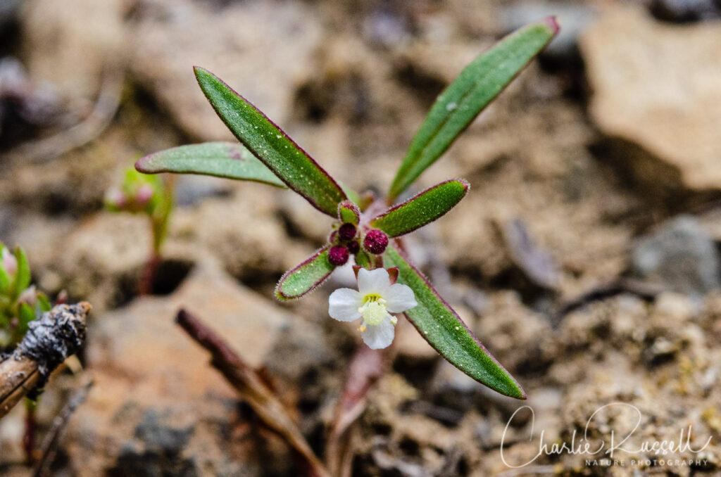 Dwarf groundsmoke, Gayophytum humile