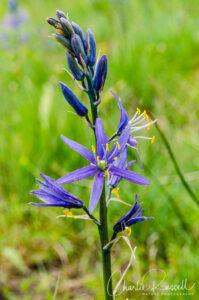 Small camas, Camassia quamash ssp. breviflora