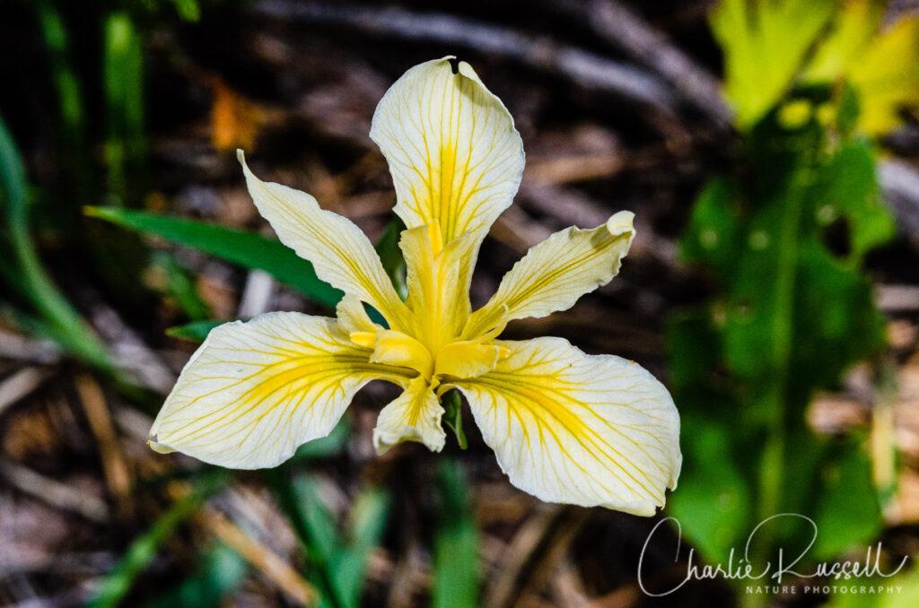 Hartweg's iris (aka Rainbow iris), Iris hartwegii