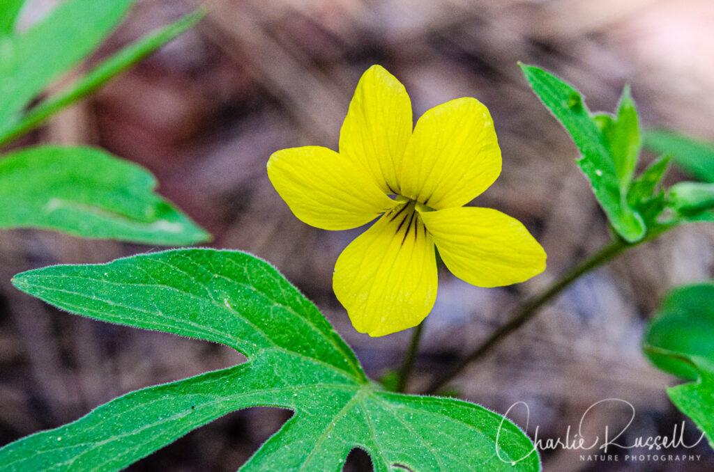 Pine violet (aka Moose horn violet), Viola lobata ssp. lobata