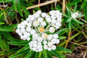 Ladies' tobacco, Pseudognaphalium californicum