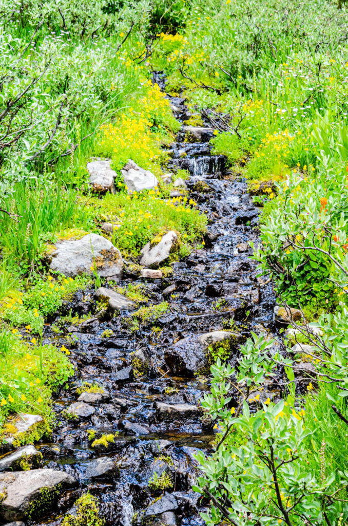 Stream flowing into the meadow. Monkeyflower, paintbrush, bog orchids, and more, line the waterway