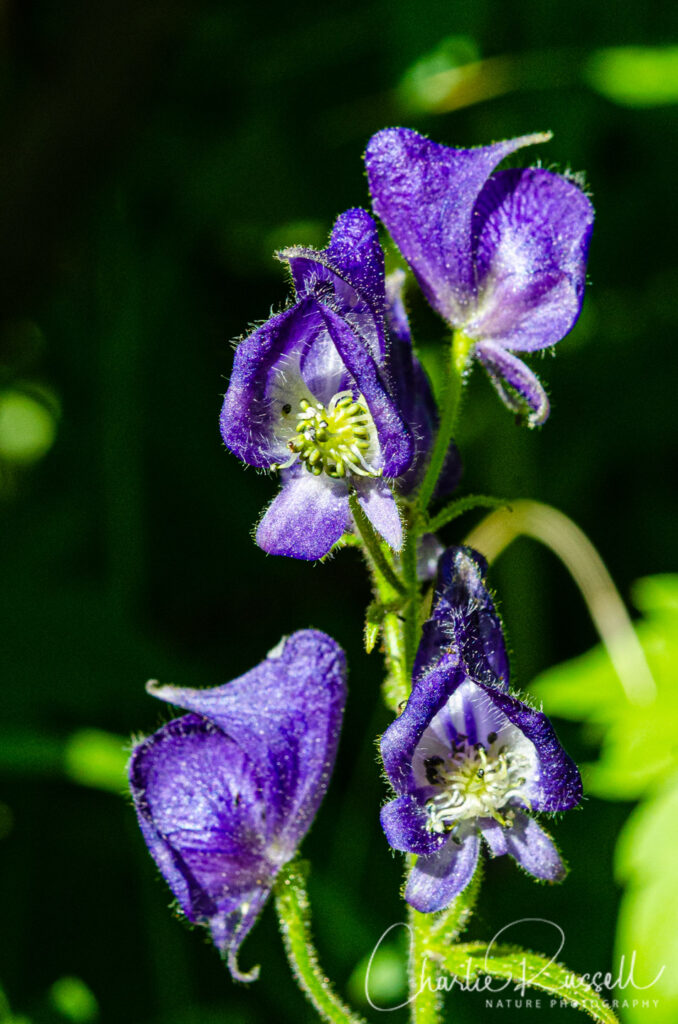 Columbian monkshood, Aconitum columbianum