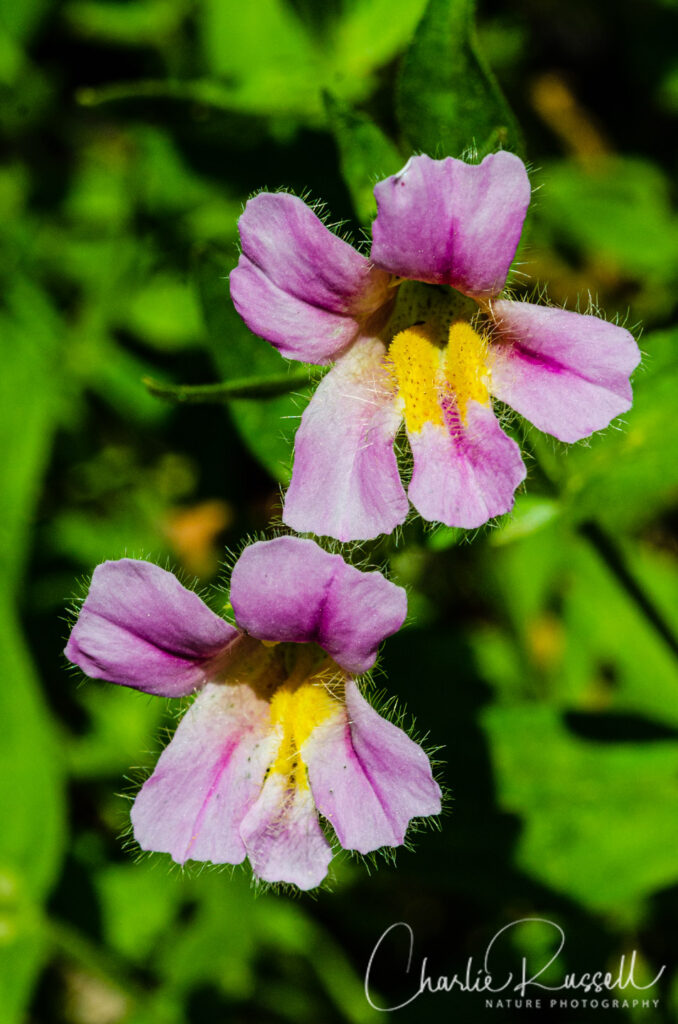 California blusing monkeyflower, Erythranthe erubescens