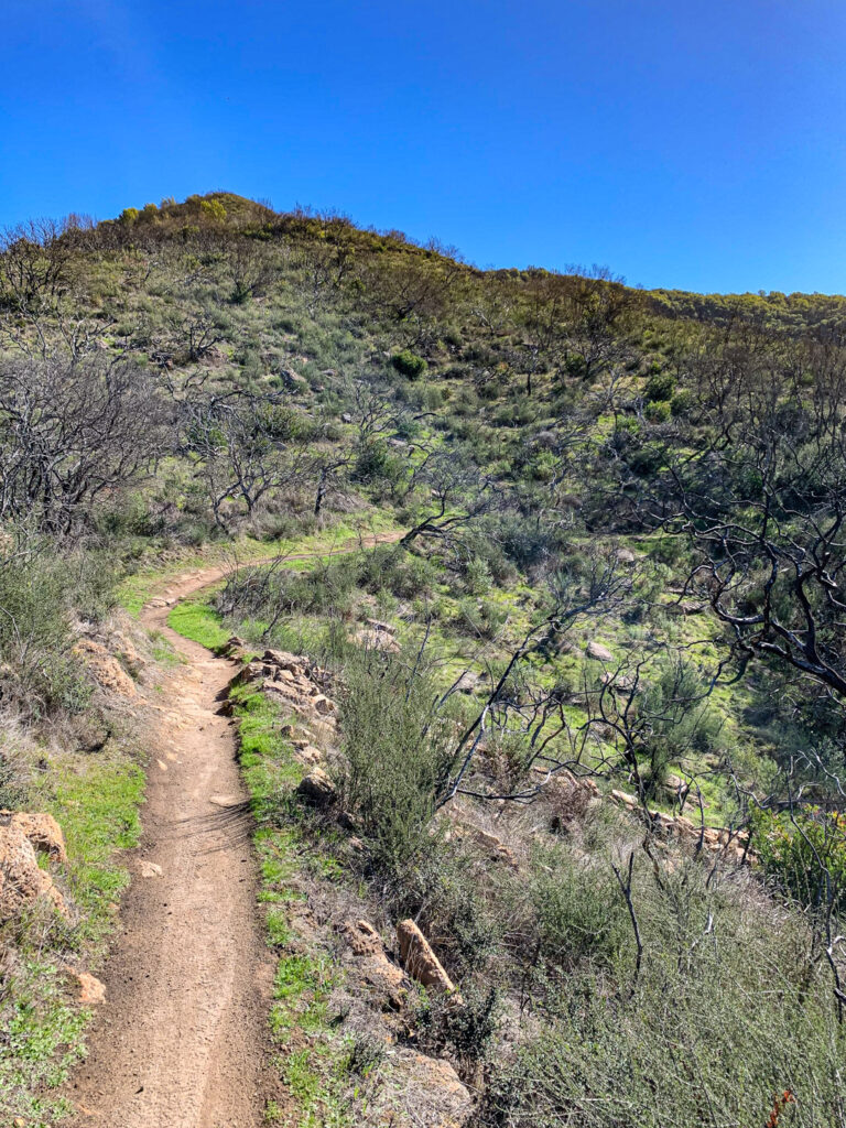 High on the more exposed portion of the Manzanita trail, higher than the oaks, lots of burned manzanita